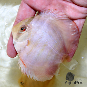 MANACACURU RED DISCUS SELECTION LINE (M)
