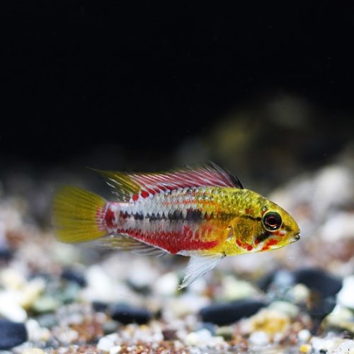 [아피]Apistogaramma sp.Hongsloi super red 1쌍